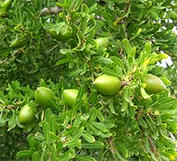 Jojoba on bush 1